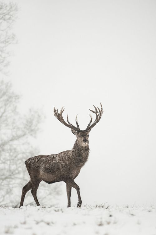 asthmas: Red deer stag in snow