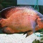 Best Oscar Fish Food - http://www.mypetarticles.com/best-oscar-fish-food/#more-865