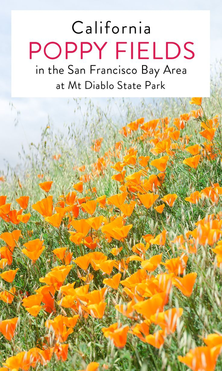 Poppy Fields At Mt Diablo State Park In The San Francisco Bay Area