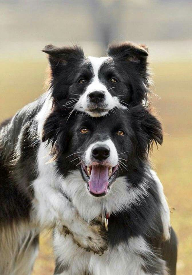 Border Collie Love Clowns Dogs, Collie dog, Dogs and