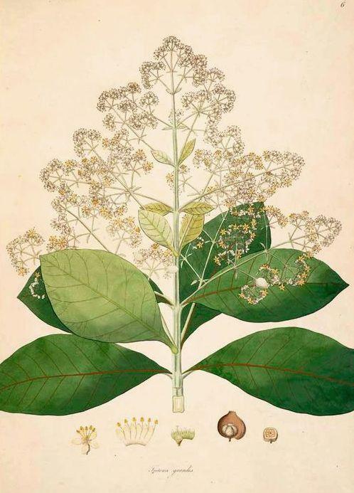 Tectonagrandis or Teak, from Plants of the coast by Coromandel de Roxburgh, 1795.