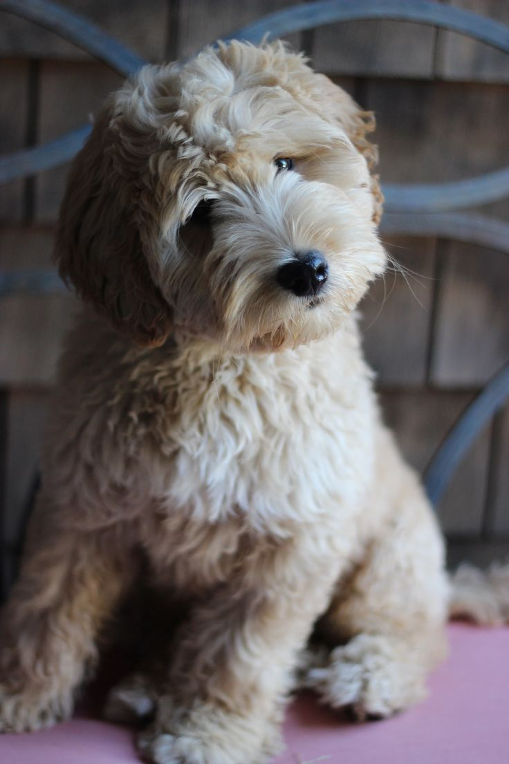 We are so excited that you are interested in adopting one of our wonderful puppies. Lucky puppy, lucky you!! Here's how it works: First, please fill out a puppy application here. The price for a Columbia Springs Labradoodle puppy is $2800 which includes a $500 deposit fee. (We are required to charge Washington State …