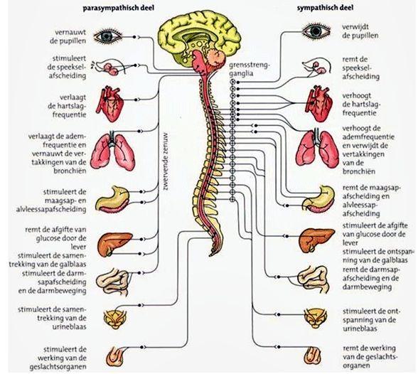 lichaam-coherentie.png (588×526)