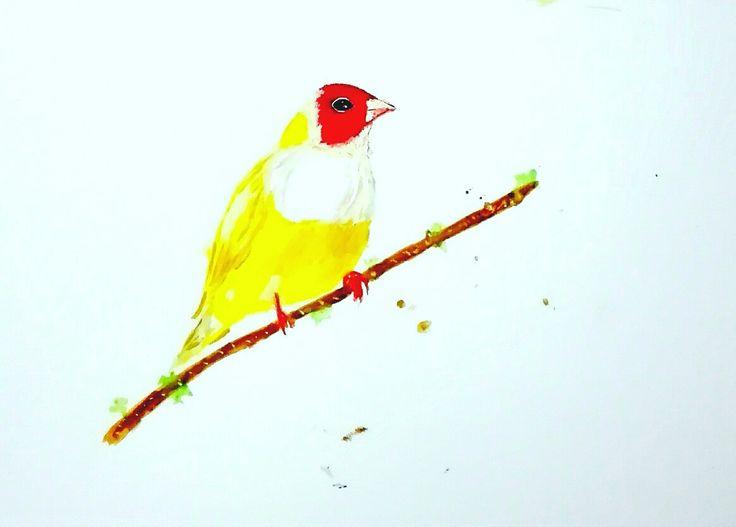 Australian yellow Gouldian Finch bird