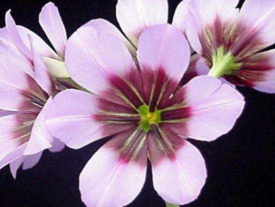 Fernando Ruz: Plantas Nativas de Chile: Huilli (Leucocoryne)