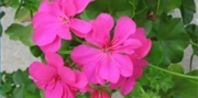 How to Start Cuttings From Geranium Plants | eHow.com