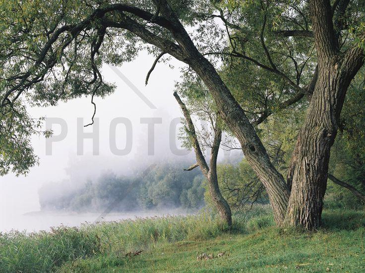 Tree in a Fog - Fototapeter & Tapeter - Photowall