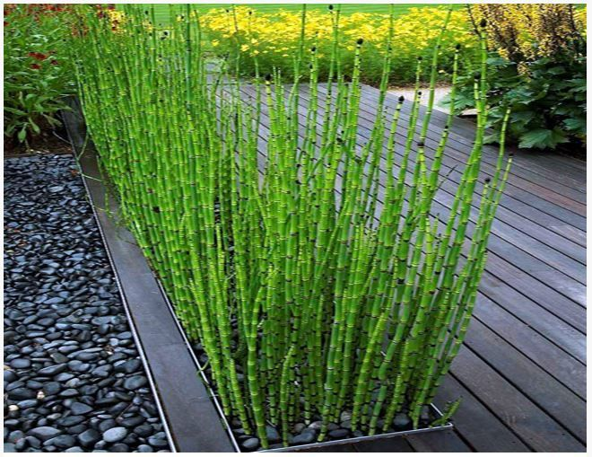 Equisetum Scirpoides- Dwarf Horsetail