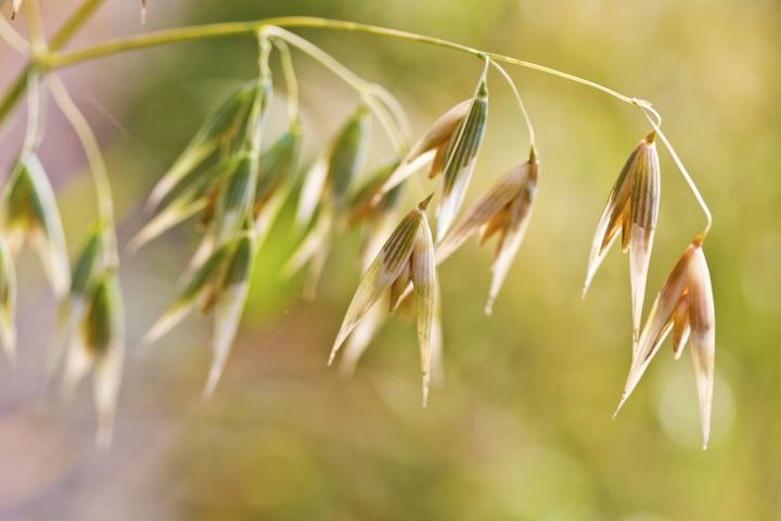 """Oat Straw benefits ~ Legend has it that the phrase """"sow your wild oats"""" actually refers to oat straw! A couple of studies have shown that oat straw may also increase libido and enhance sexual experience – at least for men and possibly also for women."""