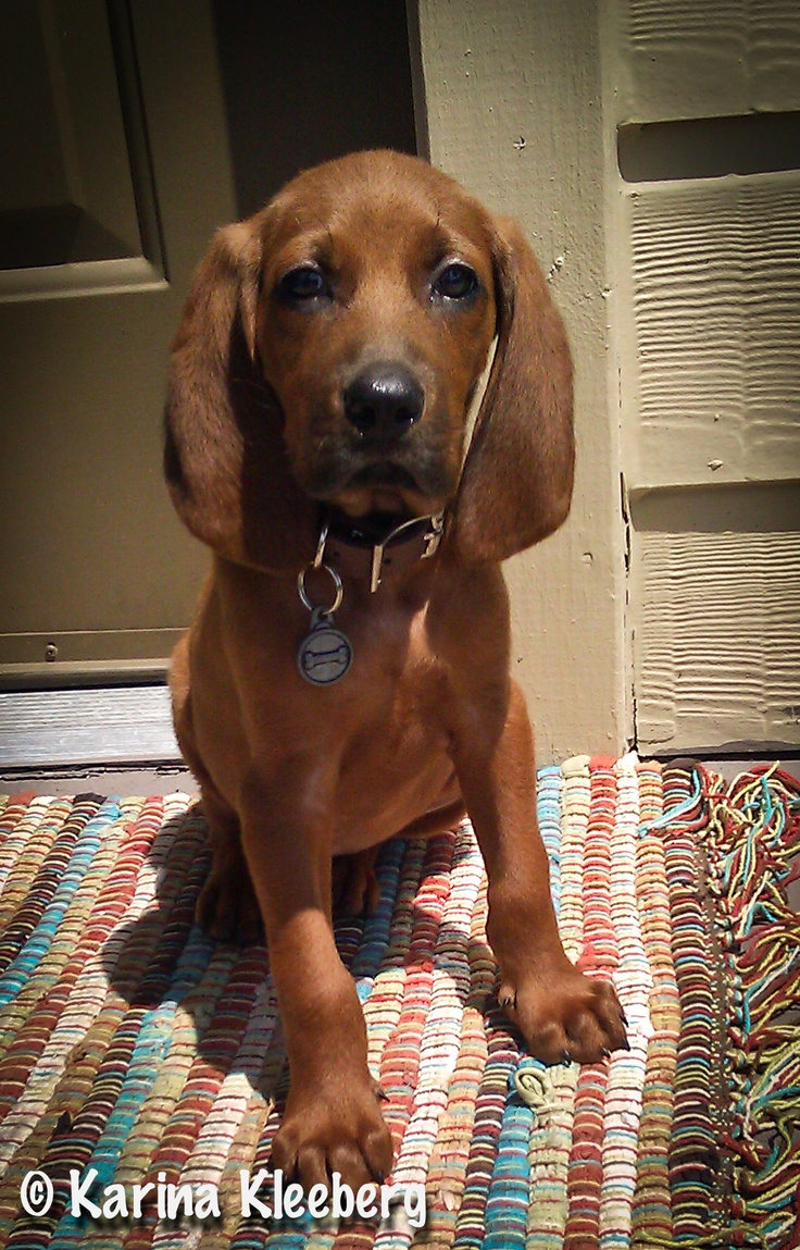 Top 479 ideas about ~ I LOVE REDBONE COONHOUNDS~ on ...