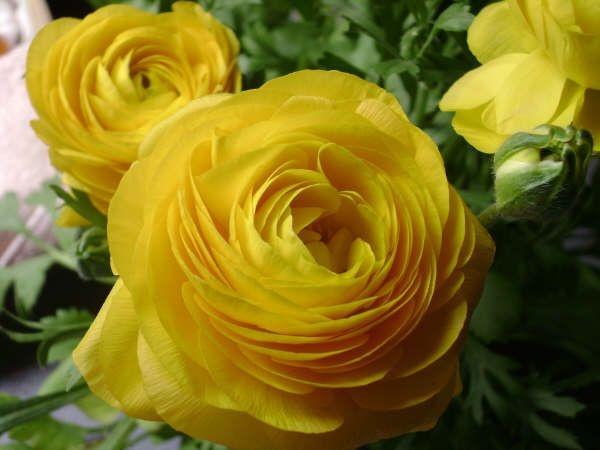 marimoña: Yellow Rose