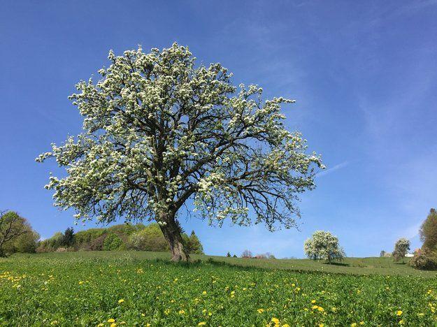 Tretí najkrajší strom v Európe je z Bošáce - nastrencin.sme.sk