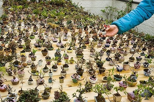 Great collection of Mame bonsai.    Smaller = better?      By: Estavios Bonsai  See: www.bonsaiempire.com #bonsai