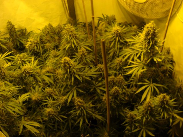 week 7,5. see for your self. only 1 more week with only water to flush the plant from nutrients.
