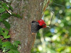 pica-pau-de-cara-canela (Dryocopus galeatus) (Foto: Rudimar Narciso Cipriani)                                                                                                                                                                                 Mais
