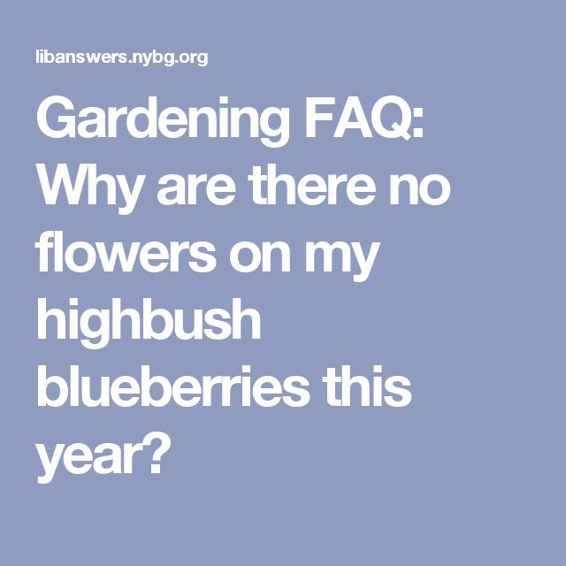 Gardening FAQ: Why are there no flowers on my highbush blueberries this year?
