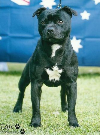 WOOLOOSTAFF - Staffordshire Bull Terrier Breeder - VIC - We try to breed staffords with wonderful temperaments, suitable as loving family pets with beauty and brains.