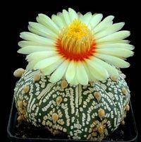 Benih langka Beauty kaktus