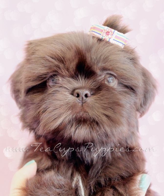 Shih Tzu Puppy With Images Shih Tzu Puppy Puppies Teacup Puppies