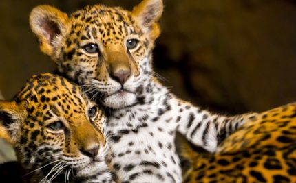 Man Risks Life Saving Leopard Cubs While Their Growling Mother Looks On and Don't forget the film in the camera!