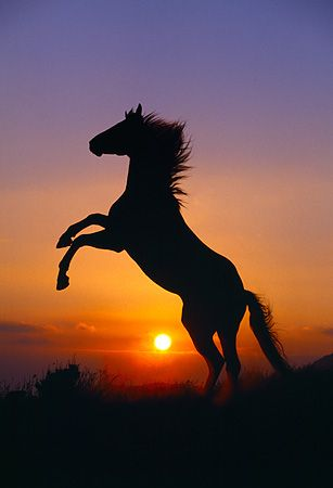 wild horse in sunset