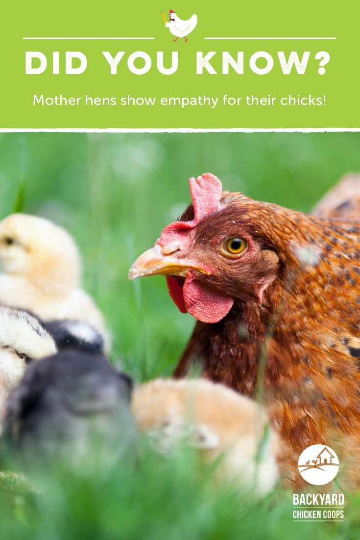 Best Chicken And Egg Facts Images On Pinterest Backyard - Backyard poultry information centre australia