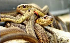 En cas de morsure de serpent, il faut aspirer le venin.