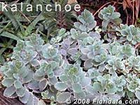 Photos and profile of the cactus commonly called  South American air plant,   lavender-scallops,   gray sedum,  from the  Floridata Plant Encyclopedia.