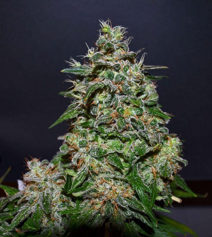 Заказать лучшие семена конопли фото выращивание марихуаны