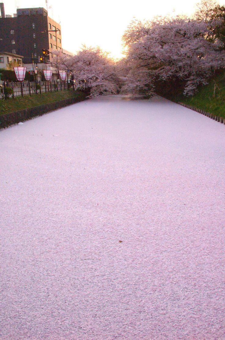 cherry blossom petals along a river in Hirosaki Park, Aomori | photo by @WizardsTools