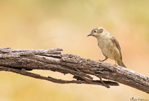 A Brown-Head Honey eater seen in west Nowra 10/1/2013