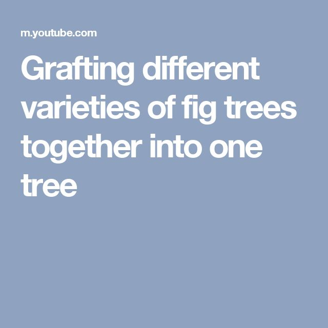 Grafting different varieties of fig trees together into one tree