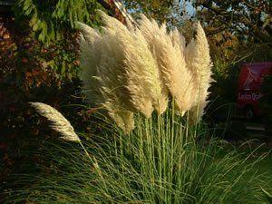 Pampasgras im Wind