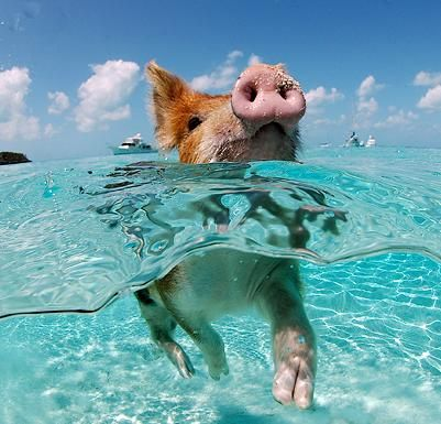 Pigs swimming at Pig Beach, Big Major Spot Island in the BahamasWater, Little Pigs, Pigs Islands, Pigs Swimming, Swimming Pigs, Funny, The Bahamas, Swimming Piggies, Animal