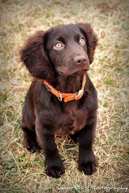 Boykin Spaniel. Casey absolutely loves these dogs! Looks like we will be getting one of these sometime...