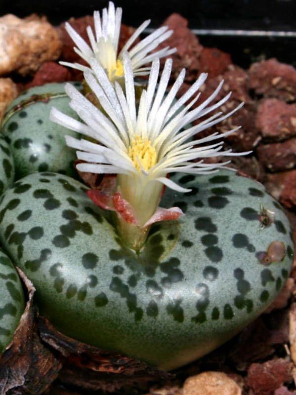 Conophytum obcordellum (Dumpling) → Plant characteristics and more photos at: http://www.worldofsucculents.com/?p=4591