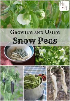 Make the most of easy to grow and tasty spring vegetable with this guide to growing and using snow peas.