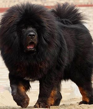 Tibetan Mastiff - Here Are 9 Rare Dog Breeds You've Never Heard Of
