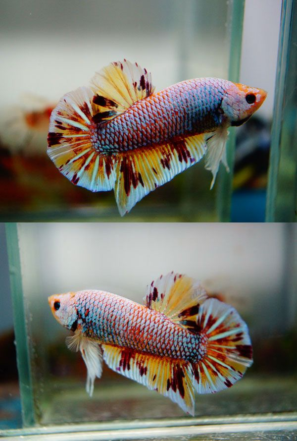 698 best betta fish pictures images on pinterest for Dragon koi fish for sale