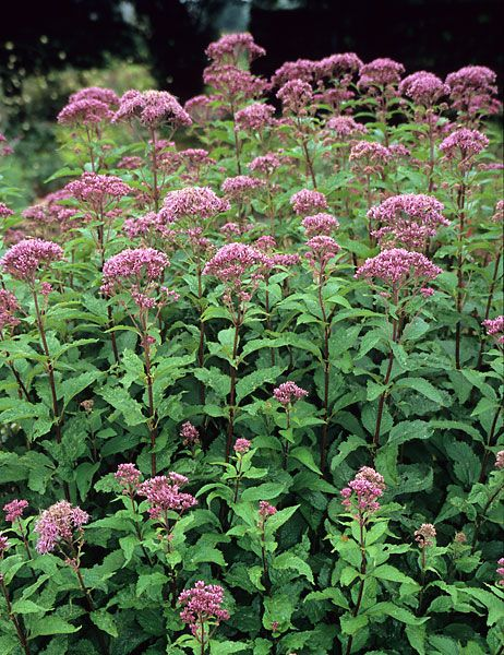 78 best images about native michigan plants on pinterest for Joe pye weed