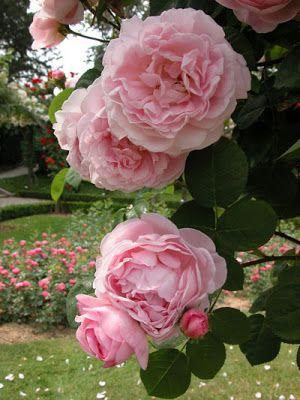 French Rose Constance Spry Roseraie de Bagatelle bois deboulogne Paris, France