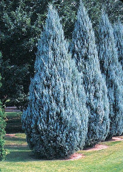 Wichita Blue Juniper Evergreen Landscape Fence