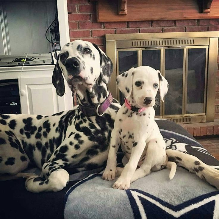 Dalmatian and puppy