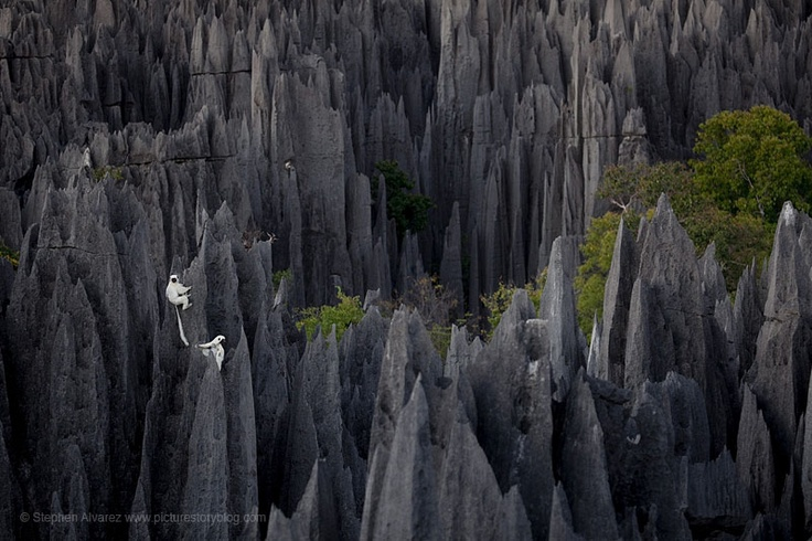 Lemurs in Madagascar Reserve Tsingy de Bemaraha is a natural wonder of