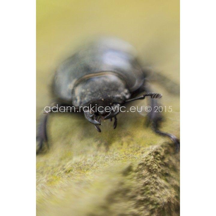 adamrakicevic#insect#beatle #macro #nature #lucanuscervus #Lucanus #cervus #serbia #adamrakicevic  Print available for sale  40x30cm framed print 80€ 130x100cm framed print 200€ Order & info adam@rakicevic.eu