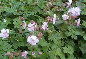 """PEITTOKURJENPOLVI Geranium x cantabrigience """"Cambridge"""" - Tuomiojan Tarha Lahjakka. Tämän näköinen peittokurjenpolvi ostettu 2012 Tertun perennoista. Menestynyt oikein hyvin."""