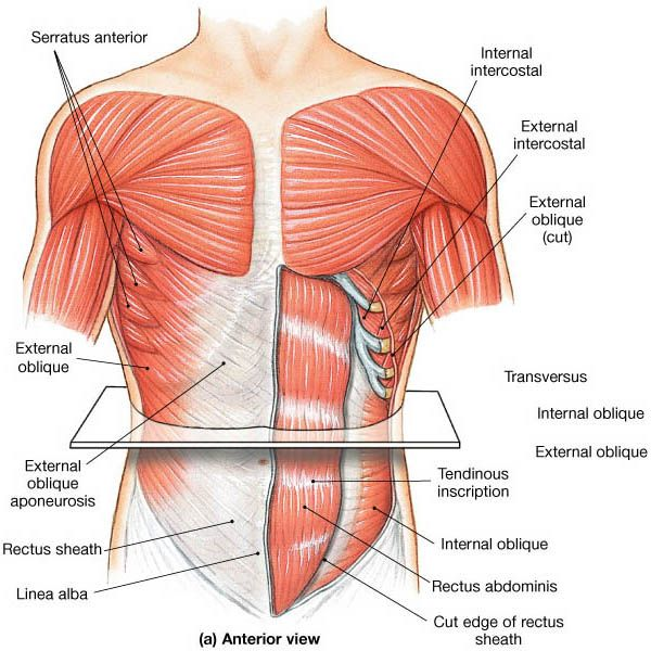 Muscles that move the abdominal wall.