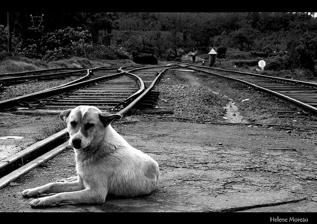 Dog on the train tracks by Helene Moreau, via Flickr