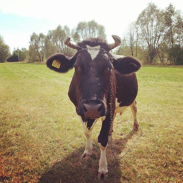 #mućka #moo #nawsi #countryside #prosteżycie #simplelife