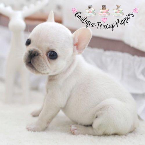 The 25+ best Miniature french bulldog ideas on Pinterest ...